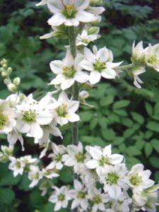 соцветие чемерицы