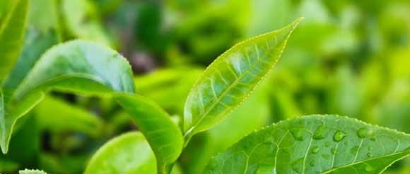 листочки чайного дерева